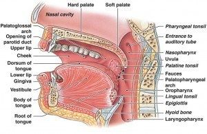 Detailed Review Of Good Morning Snore Solution Mouthpiece Lingual Tonsils Soft Palate Oral Cavity