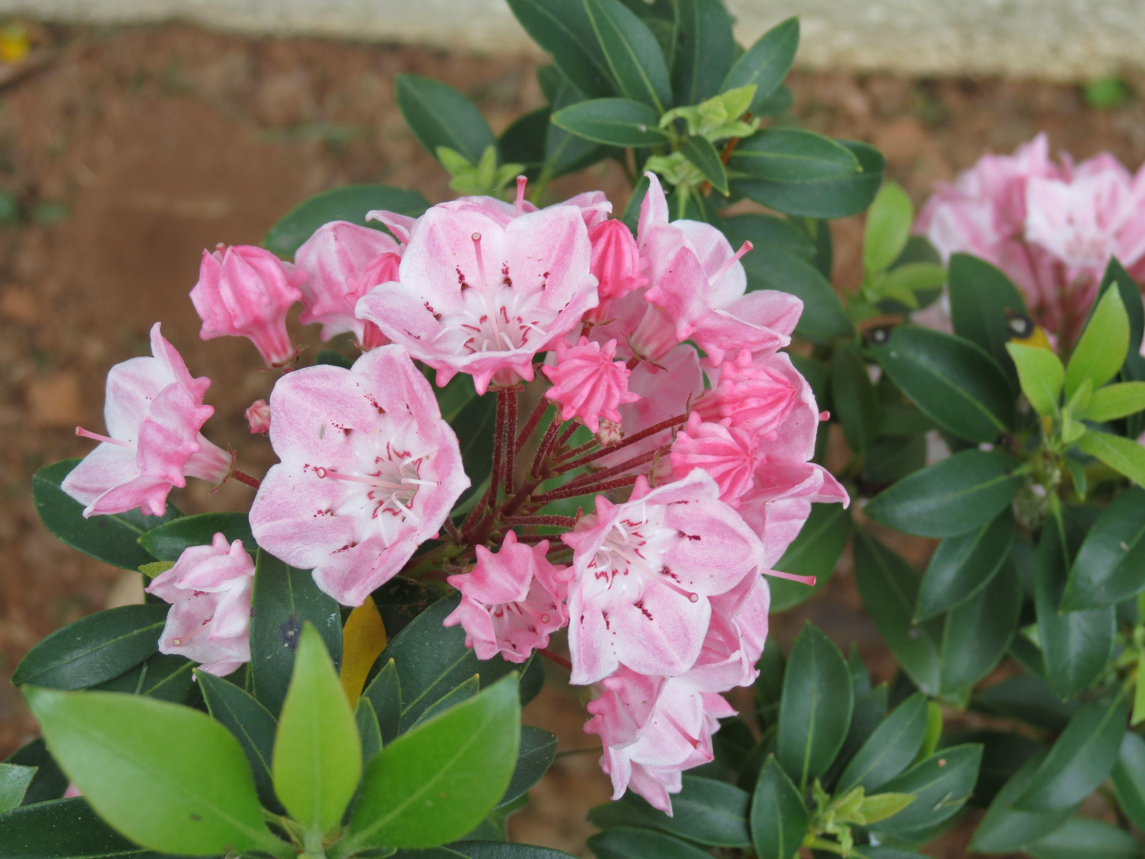 mountain laurel flower pennsylvania