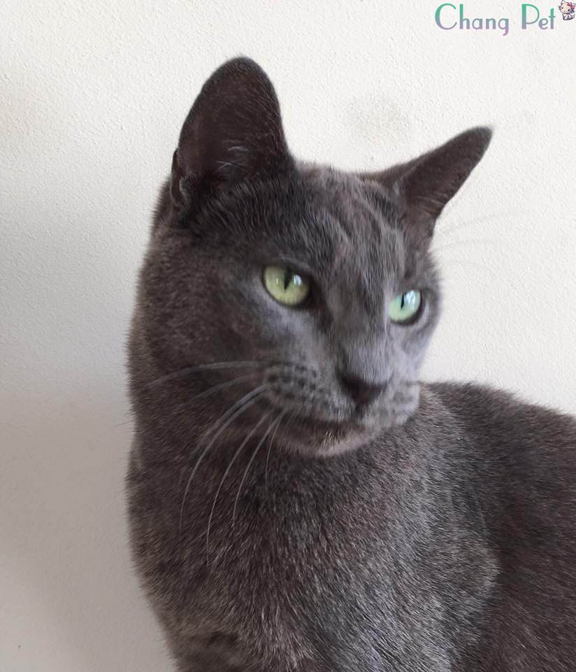 About Us Business Tomato Russian Blue Kitten Russian Blue Cat Russian Blue