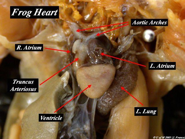 Frog Heart: Sinous Venosus, Anterior Venae Cavae, Posterior Vena ...