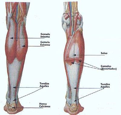 Músculos de la pantorrilla. Visión posterior. Músculos gemelos ...