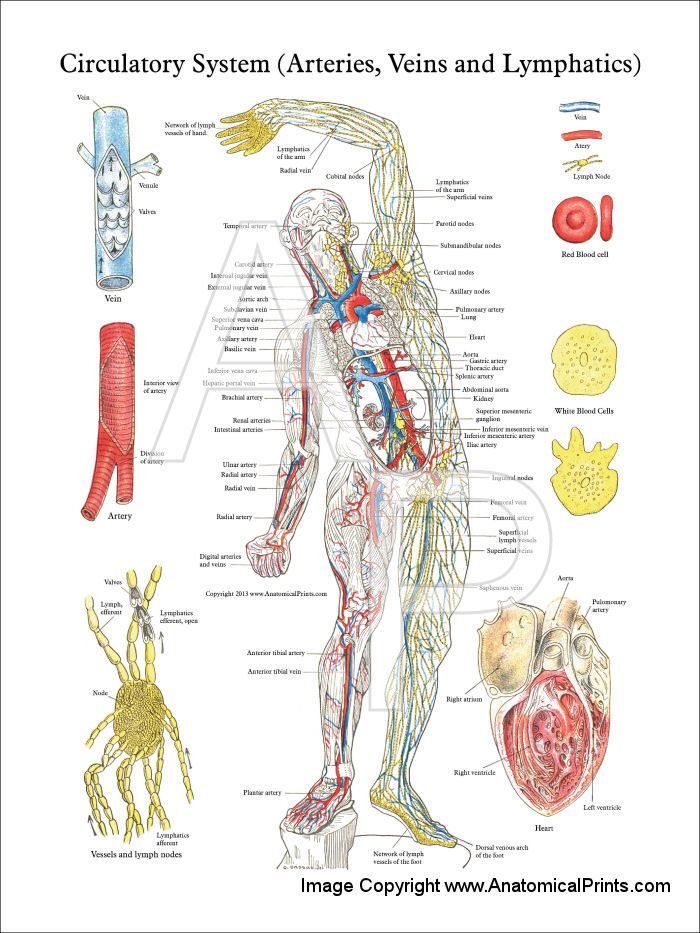 Circulatory System of the Arteries, Veins & Lymphatics - 18\