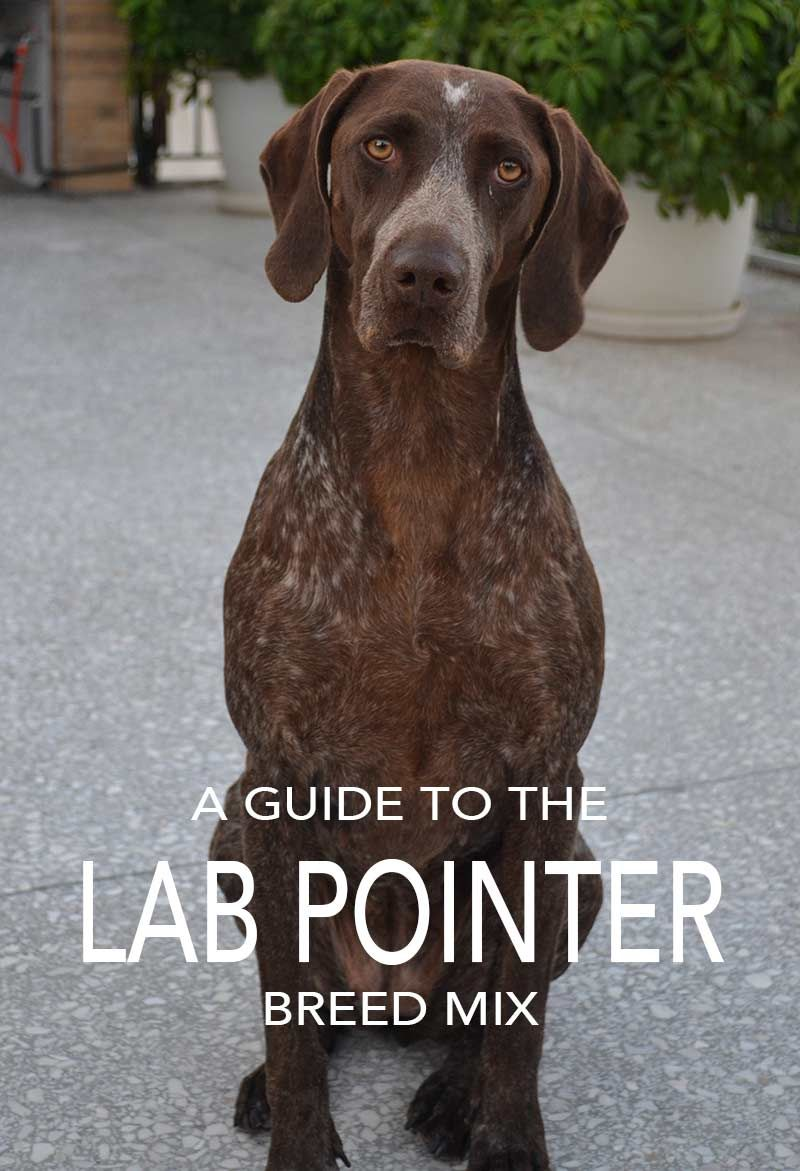 Lab Pointer Mix Is This The Right Dog For You German