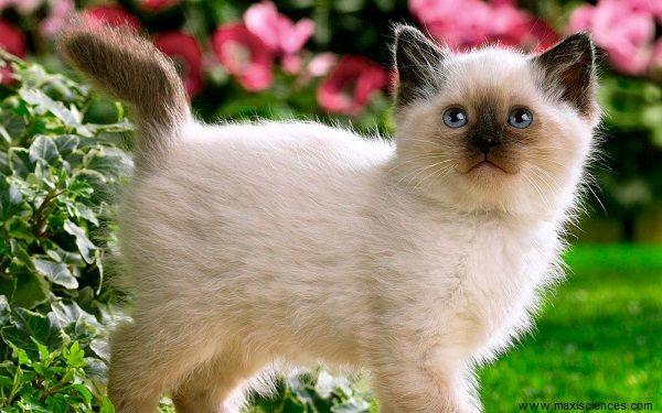 Photo de chaton race siamois trop mimi les chatons siamese kittens cats et cute cats - Image de chaton trop mimi ...
