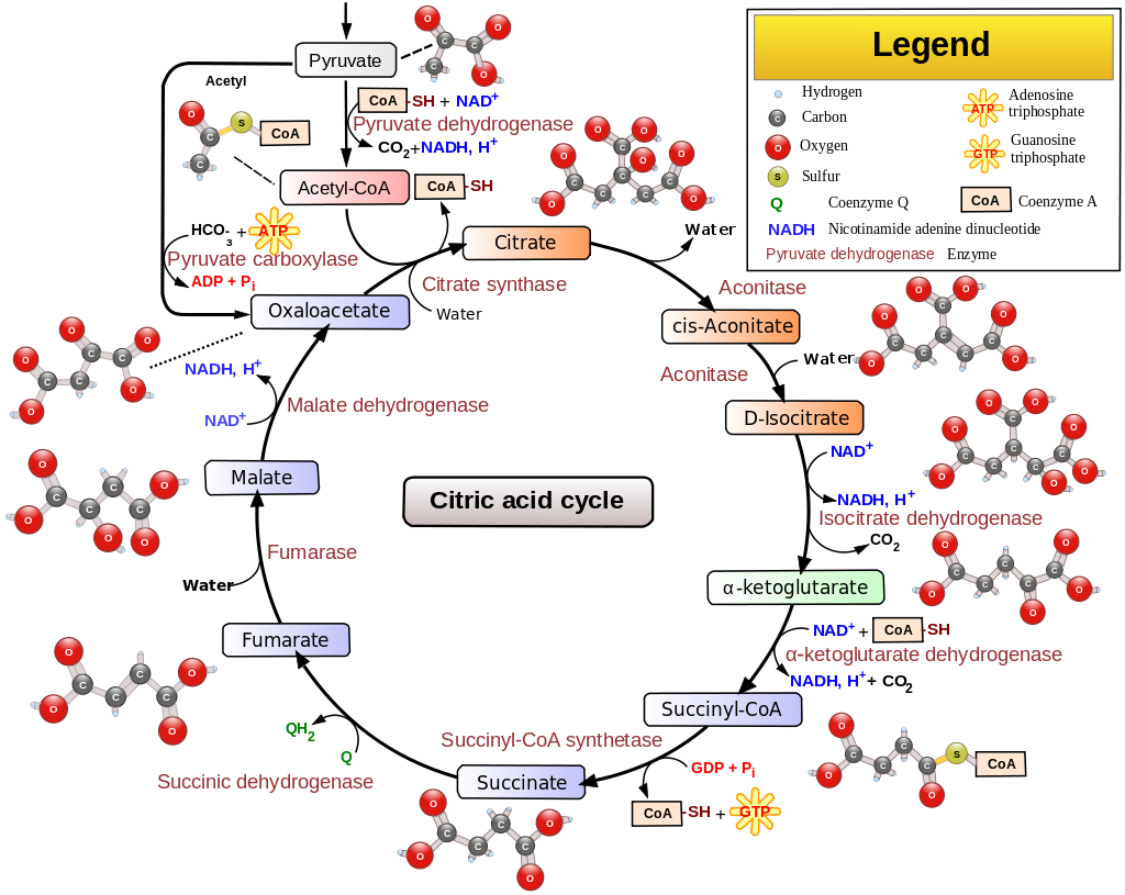 Citric Acid Cycle – also known as the Tricarboxylic Ccid