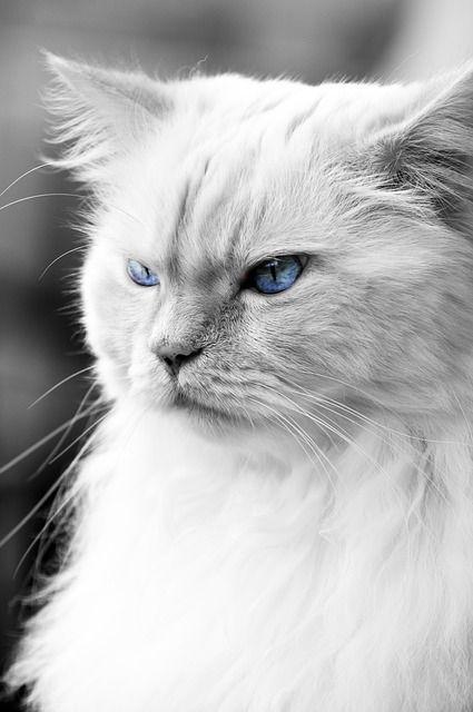 Image gratuite sur pixabay cat oeil bleu chat chat animaux mignons et animaux - Image animaux gratuite ...