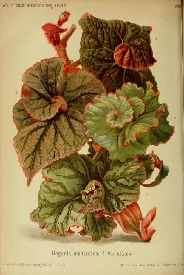 Jahr 11 1886 Wiener Illustrirte Garten Zeitung Biodiversity Heritage Library Botanical Flowers Botanical Prints Botanical Drawings