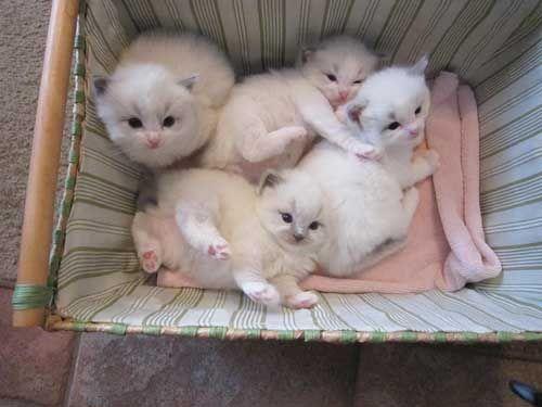 Adorable Ragdoll Kittens Kittens Natashalawrence299 Gt Gt G Gt M Gt A I Gt L Gt Gt C Gt O Gt M 54fb9b67 Ragdoll Kitten Kitten For Sale Ragdoll Kittens For Sale
