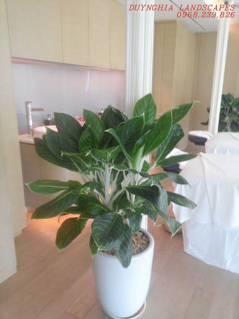 Aglaonema sp Chinese Evergreen Uprights Pinterest