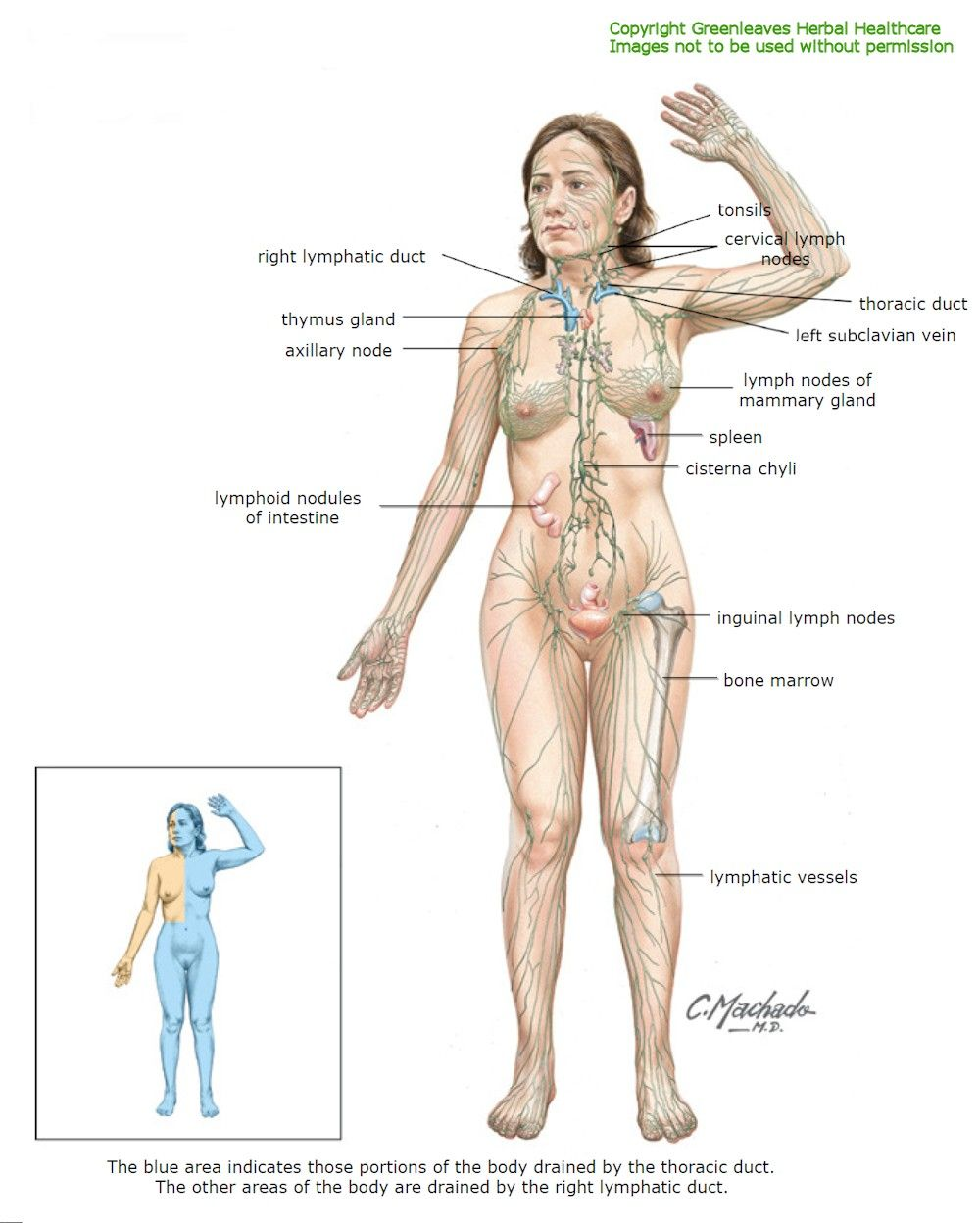 lymphatic-system-new.jpg (1000×1248) FEMALE Lymphatic System | THE ...