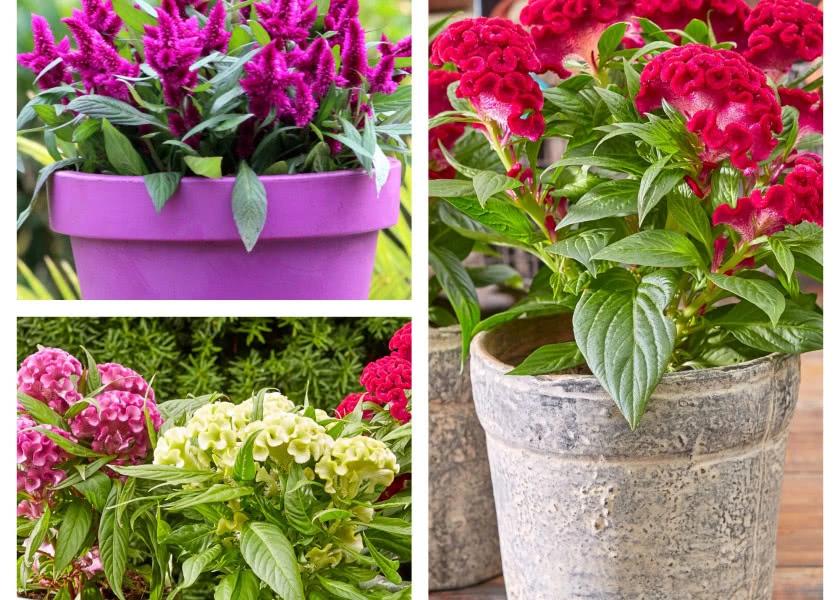 Celosia Kwiat Na Sloneczny Balkon Fot Flower Council Holland Pelargonium Plants Planter Pots