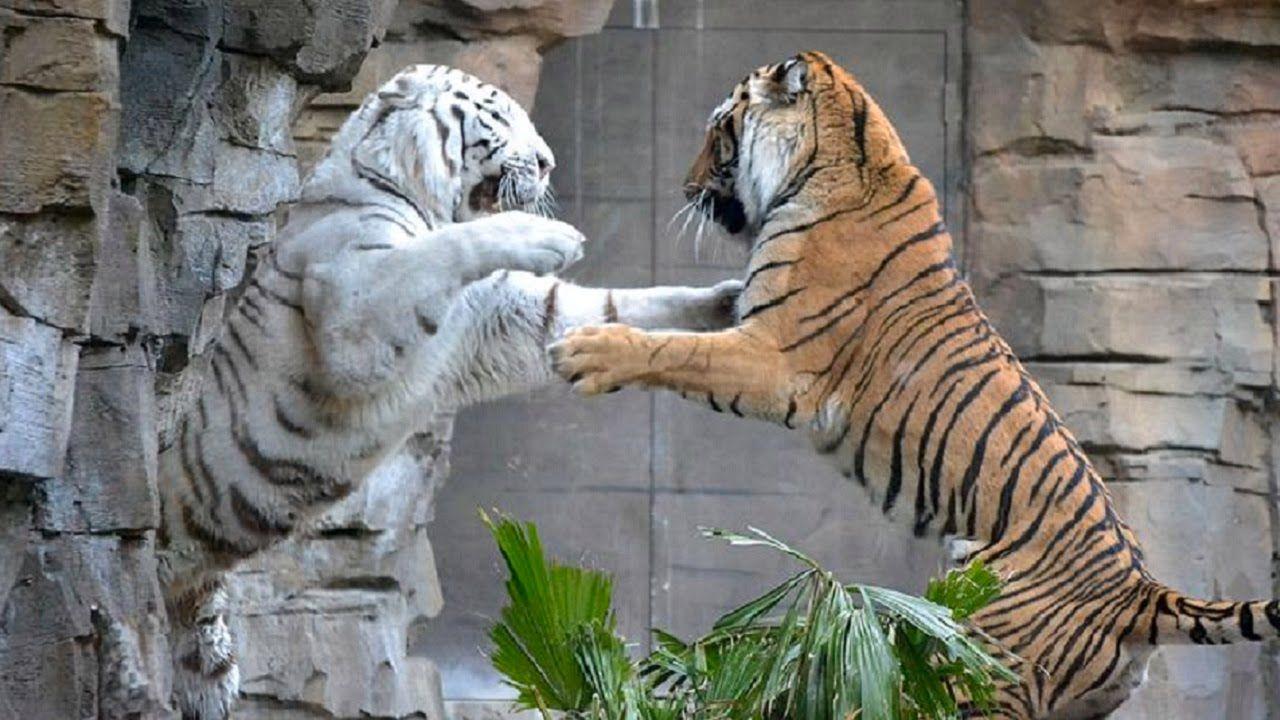 white tiger vs tiger real fight tiger vs tiger fight to