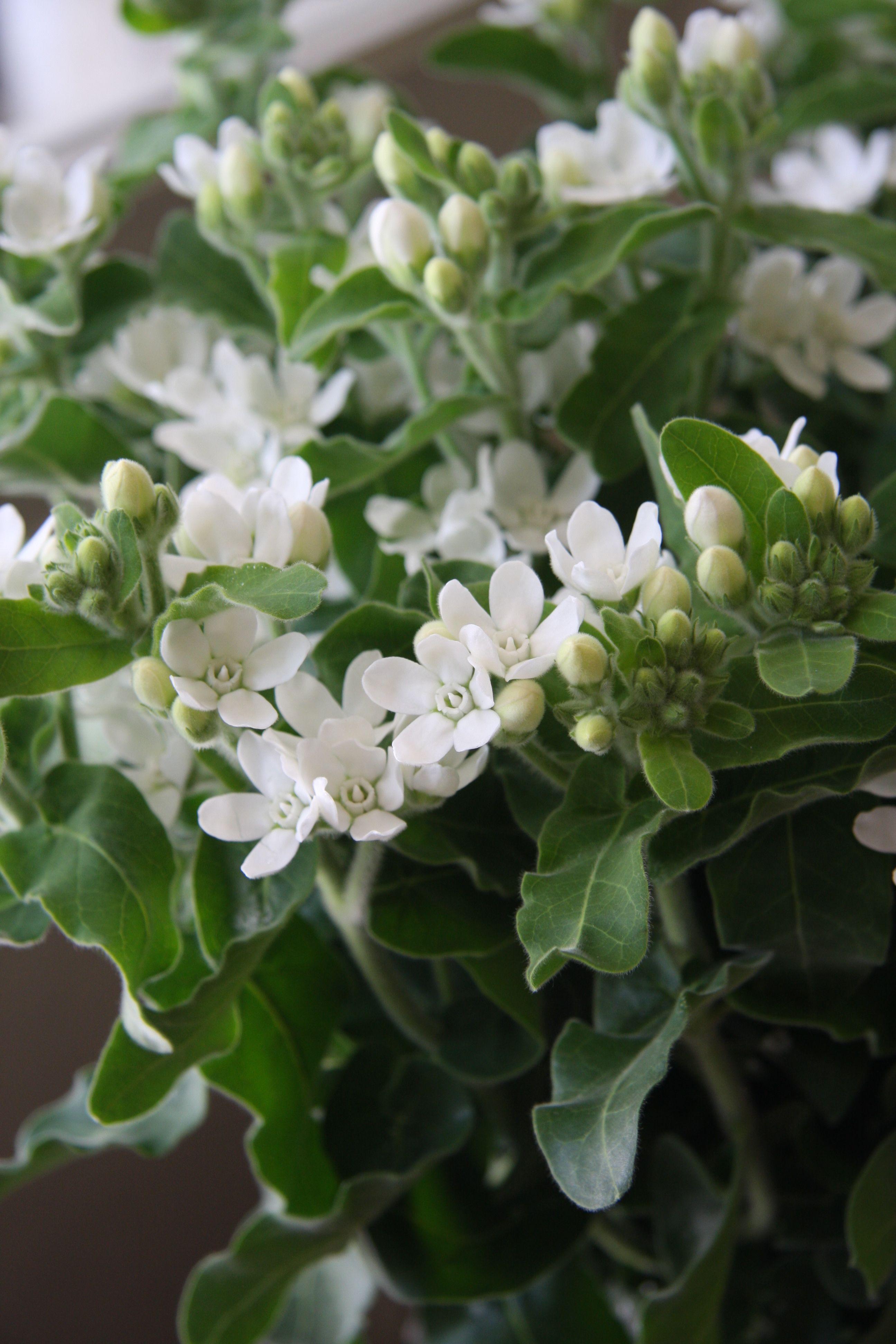 Oxypetalum \'White star\' | Flower Power | Pinterest | Star, Flowers ...