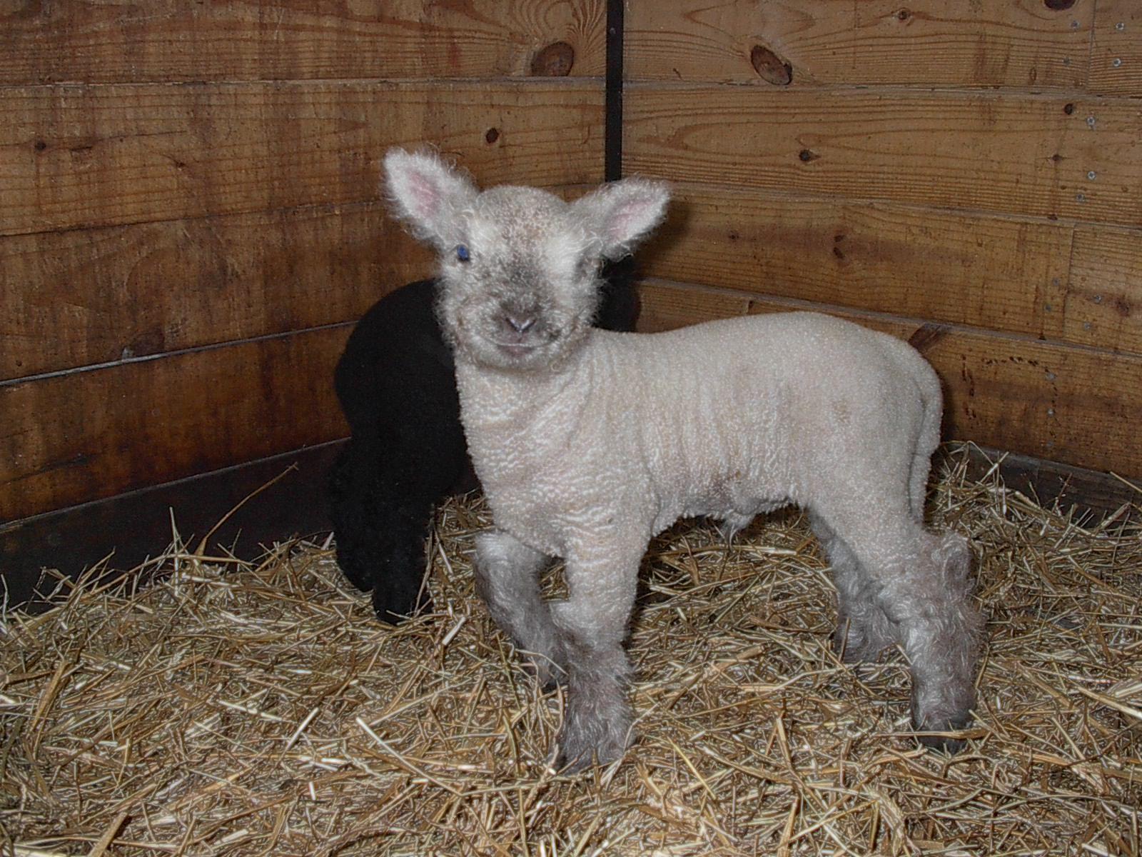 Olde English Babydoll Miniature Southdown Sheep Farm