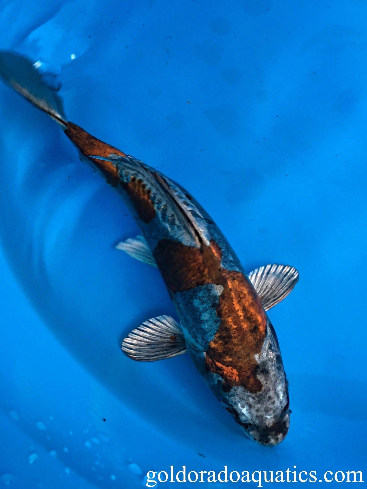 Meaning Gold Radiant Black Dragon The Kin Kikokuryu In A Relatively New Breed Of Koi To Enter The Market This Advanced Breed Of Koi Fish Koi Fish Pond Koi