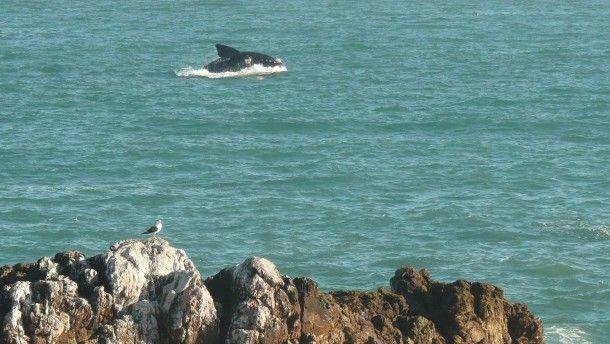 Für diesen Anblick lohnt sich noch die weite Reise: Ein Wal zeigt sich in voller Pracht, was Menschen deutlich stärker beeindruckt als Vögel.