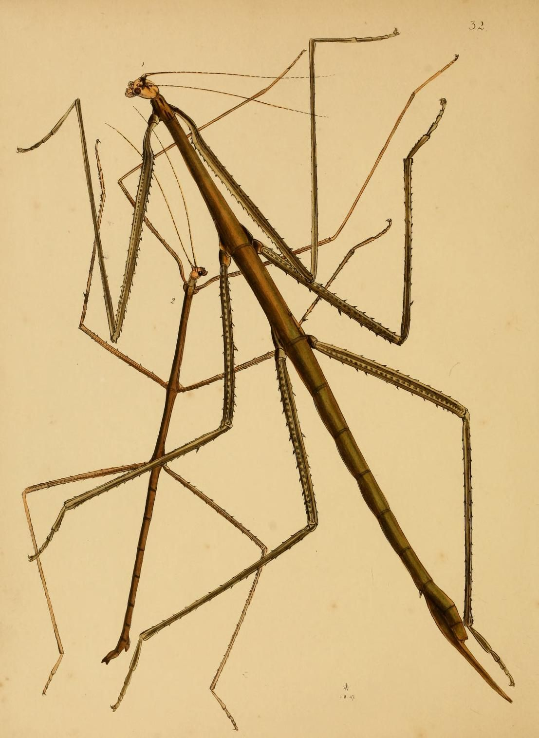 Stick Insect Plate From The Cabinet Of Oriental Entomology By Jo