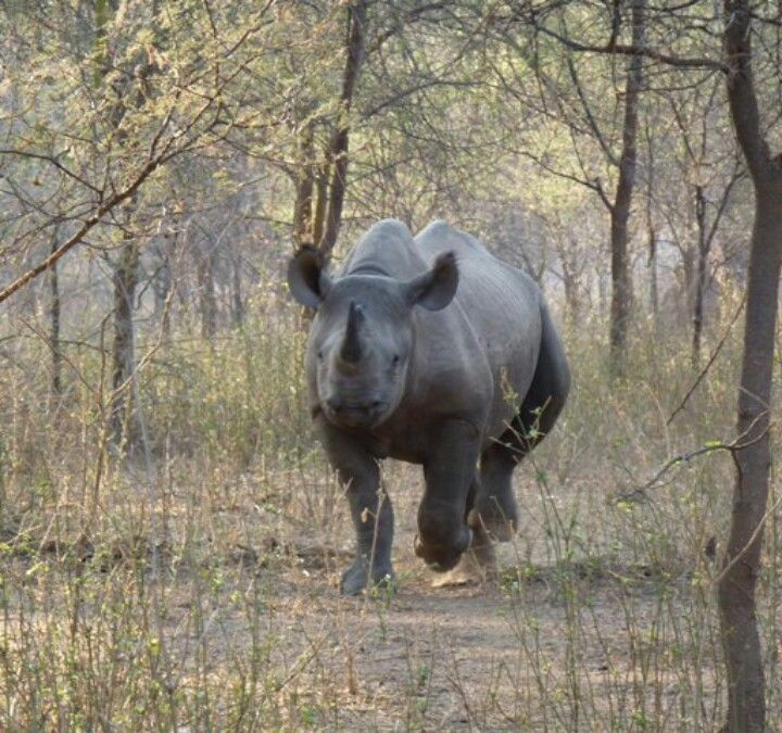 Rhinosaurus  ,my most favorite animal in the world  so