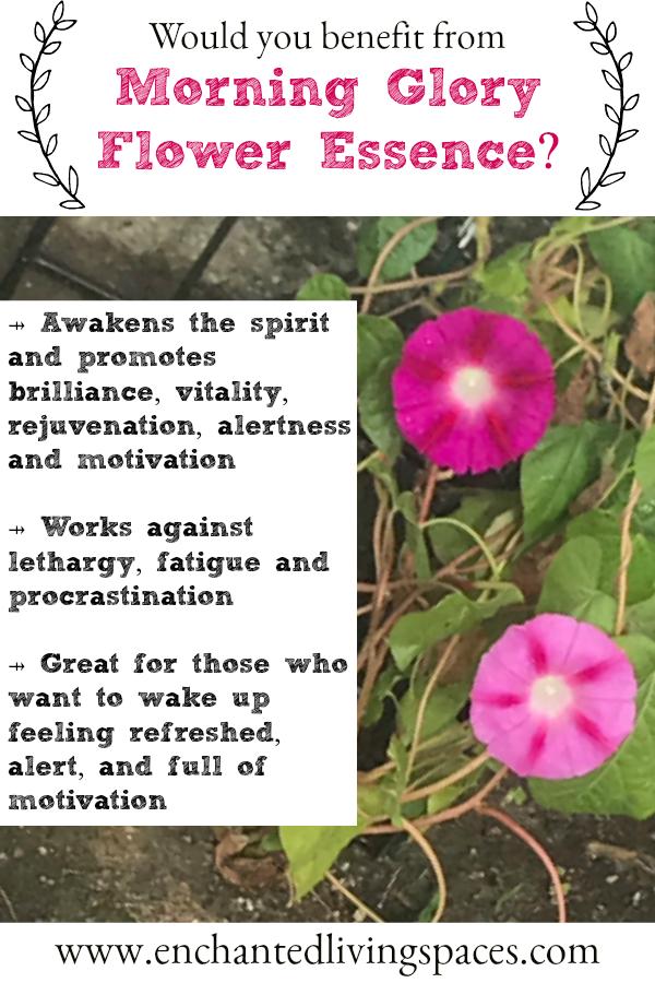 Morning Glory Vitality Motivation Alertness Flower Essence Enchanted Living Spaces Bianca Mastrototaro Flower Essences Flower Essences Remedies Flower Remedy