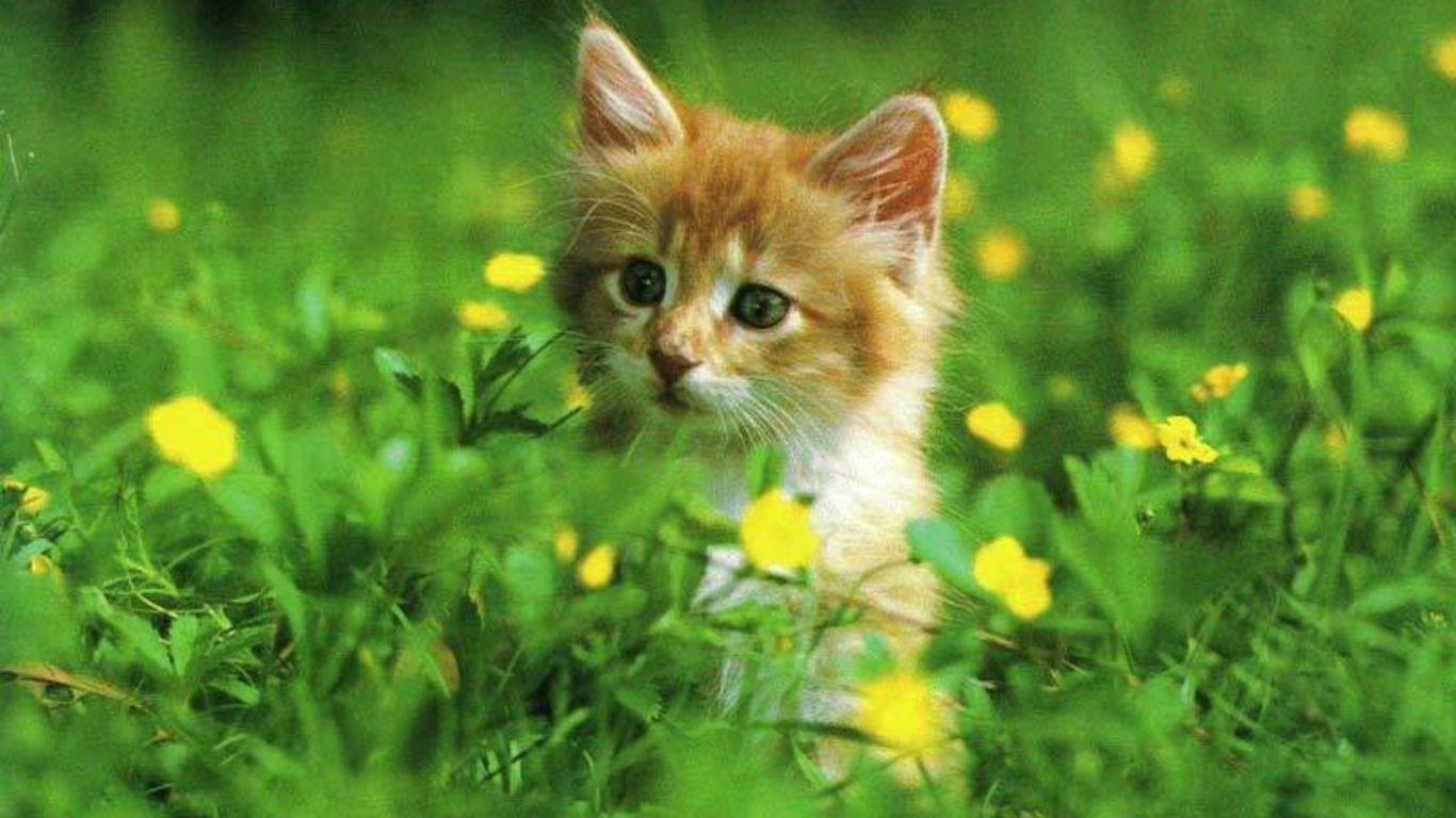 Desktop Wallpaper Free Desktop Wallpapers Yahoo Image Search Results Cat Pics Kitten Wallpaper Animals