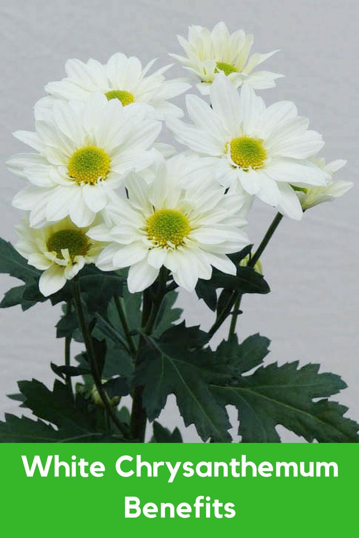 White Chrysanthemum Benefits Flowers Pinterest White