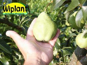 Pyrus communis 'Tohtorin päärynä', Mognar i september. Delikatessfrukt. Bra pollineringssort. Zon II(III)