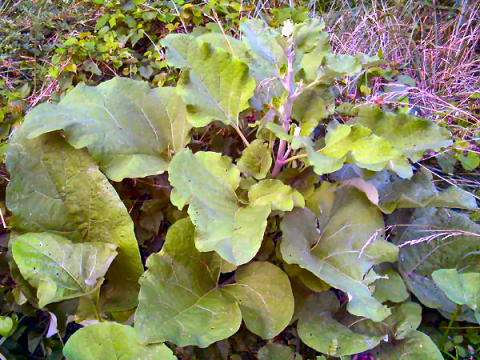 Plants that aren't rhubarb, but look like it | Yard stuff ... | 480 x 360 png 487kB
