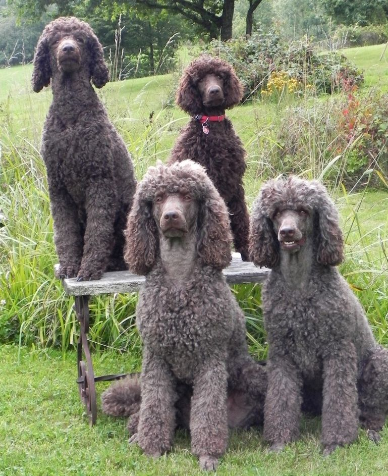 Striking A Pose Check Out The Smile On The Dog To The Far Right Poodle Puppy Standard Poodle Pretty Poodles