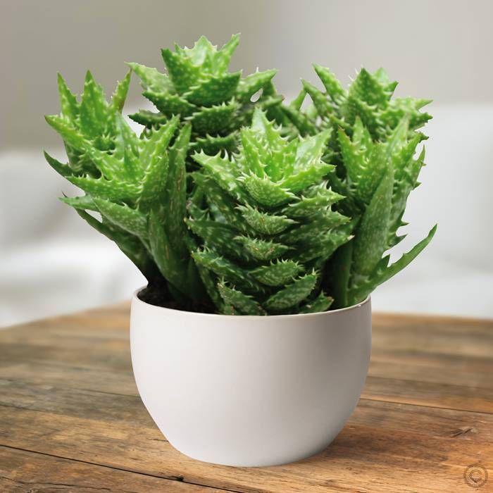 aloe squarrosa 1 pflanze g nstig online kaufen bestellen sie schnell und bequem online zu. Black Bedroom Furniture Sets. Home Design Ideas
