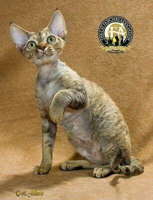 Devon Rex Devon Rex Cats Cat Breeds Bengal Cat