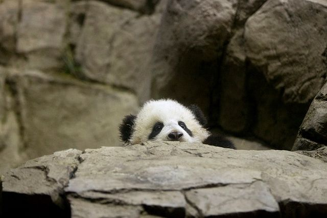 Bao Bao, 1/12/14 // PANDA | Flickr - Photo Sharing!