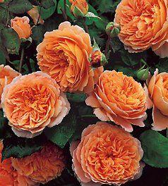 Crown Princess Margareta - David Austin Rose