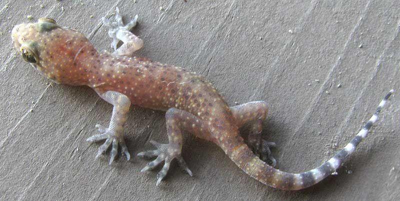 Mediterranean House Gecko Hemidactylus Turcicus Oklahoma Native