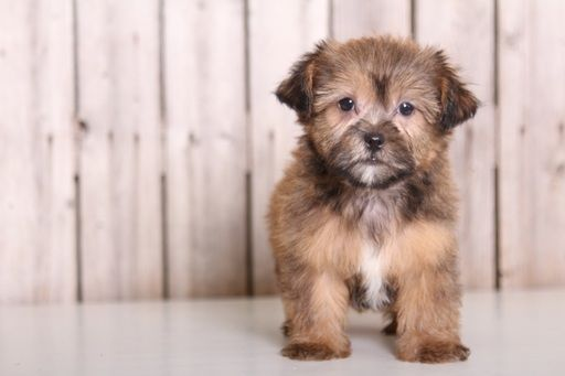 Shorkie Tzu Puppy For Sale In Mount Vernon Oh Adn 40445 On Puppyfinder Com Gender Female Age 8 Weeks Old Puppies For Sale