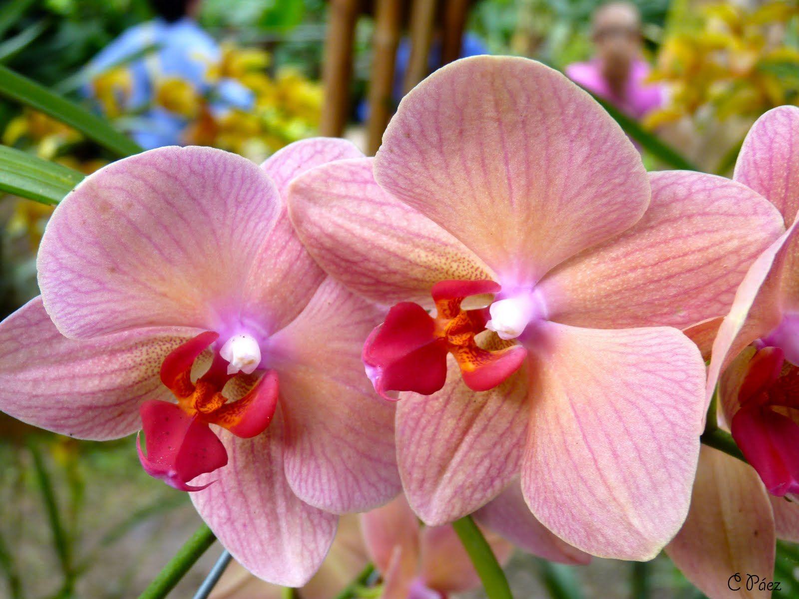 Rojas fotos orquideas ▷ Imágenes