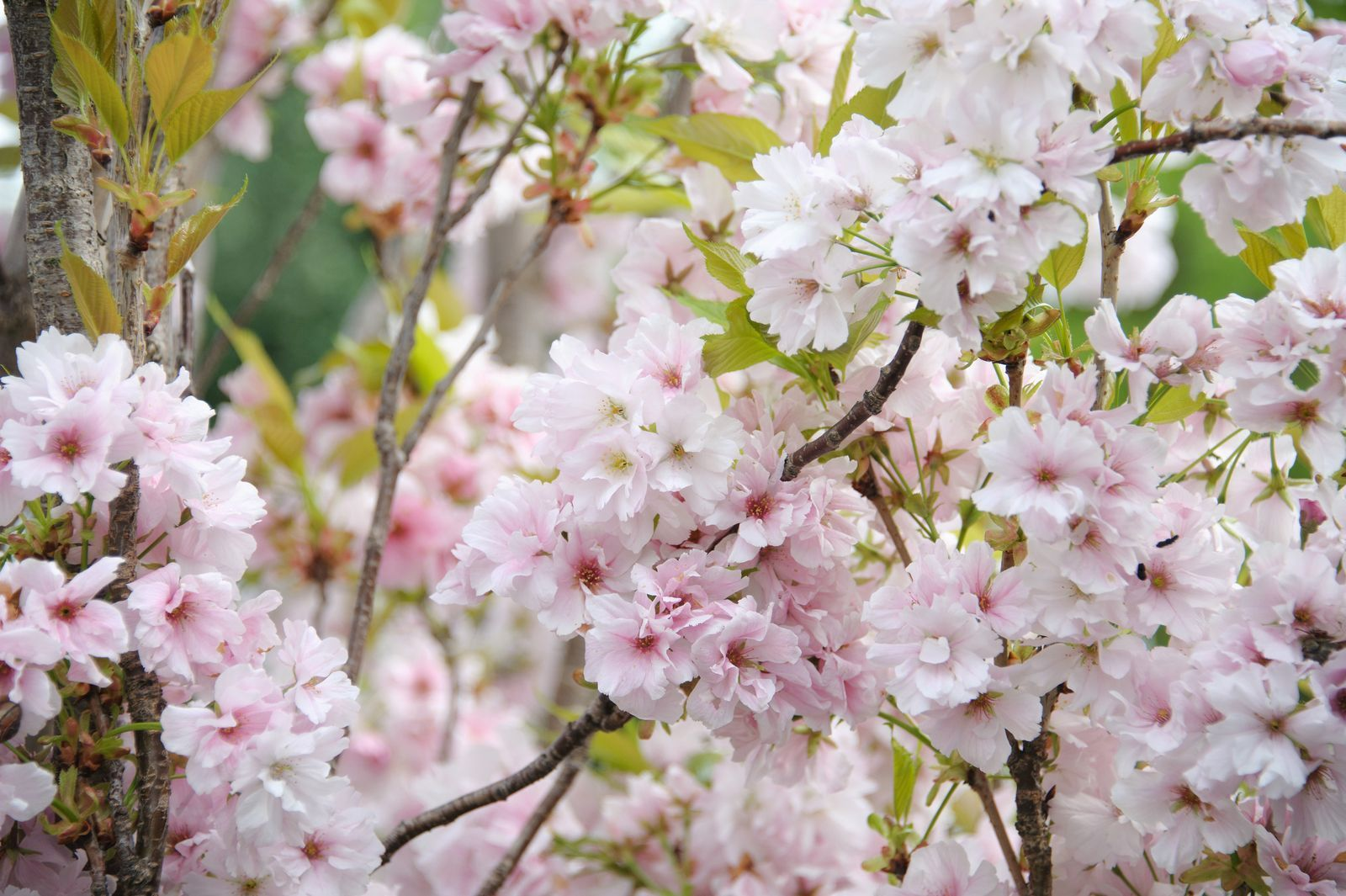 These Are The Best Trees For Small Gardens According To A Gardening Expert Flowering Cherry Tree Japanese Flowering Cherry Small Gardens