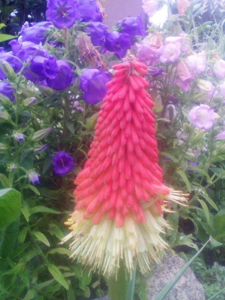 Trytoma Flowers Plants Love Lies Bleeding