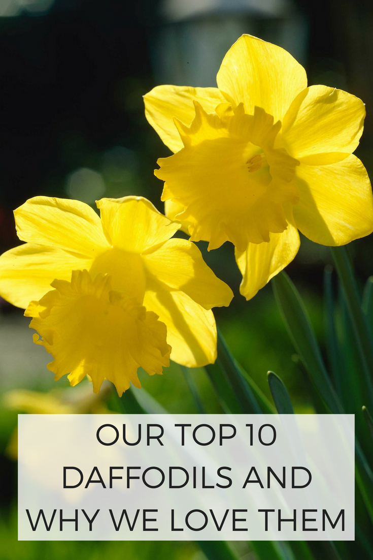 Our Top 10 Daffodils And Why We Love Them Planting Daffodil Bulbs Daffodil Gardening Daffodils