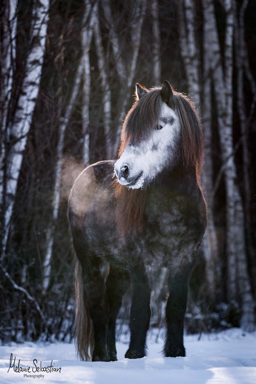 Photo of Icelandic stallion in the snow by Melanie Sebastian Photography animal photography #horse #equine horse picture