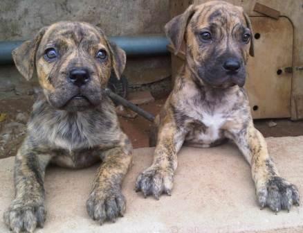 Imported Brindle Boerboel Puppies Pets Nigeria Puppies