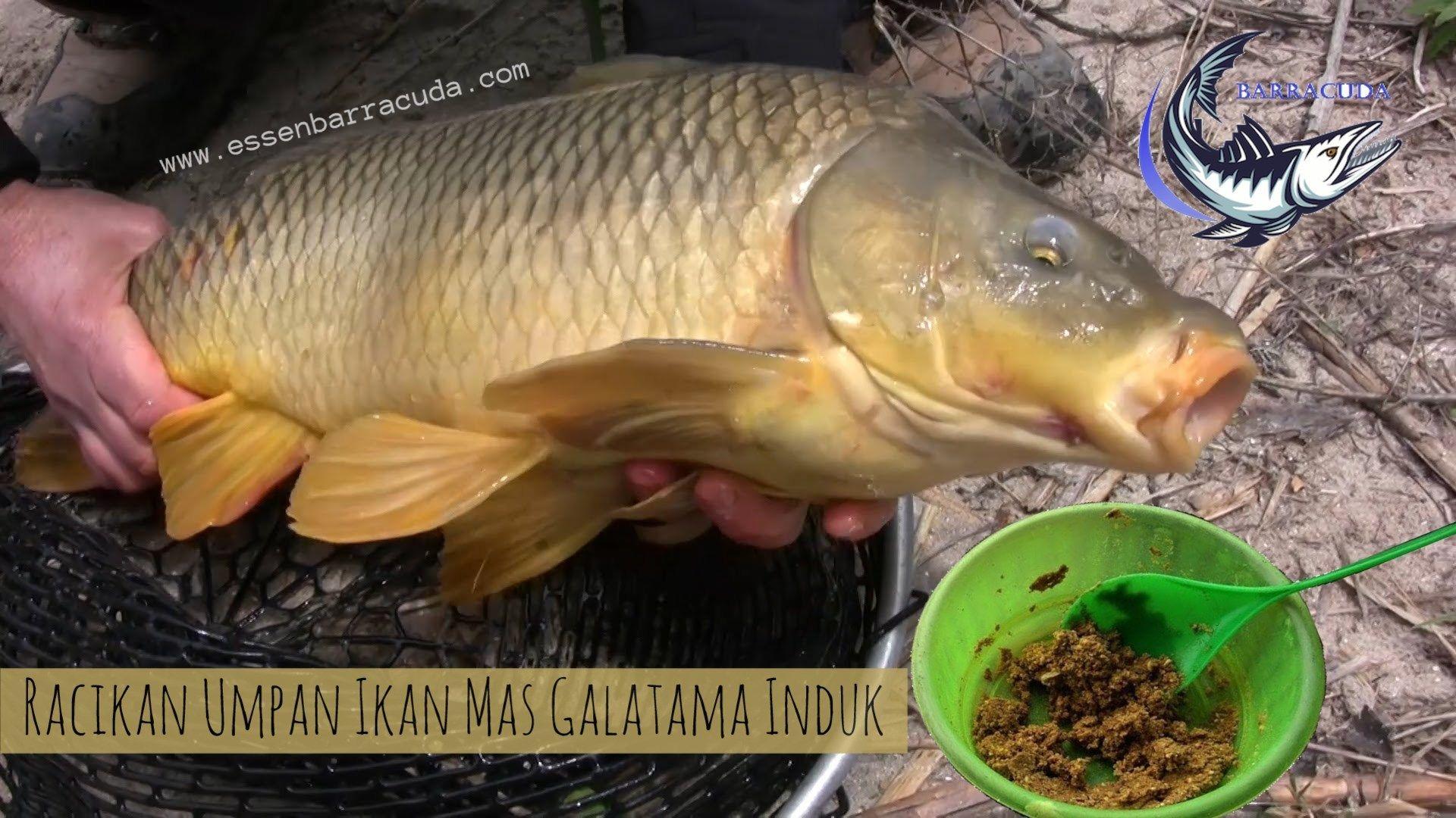 Resep Umpan Ikan Mas Galatama Induk Terbaru Dengan Campuran Essen Oplosan Dari Barracuda Dengan Aroma Khas Yang Sangat Disukai Ikan Mas Babon Dija Fish Aquatic