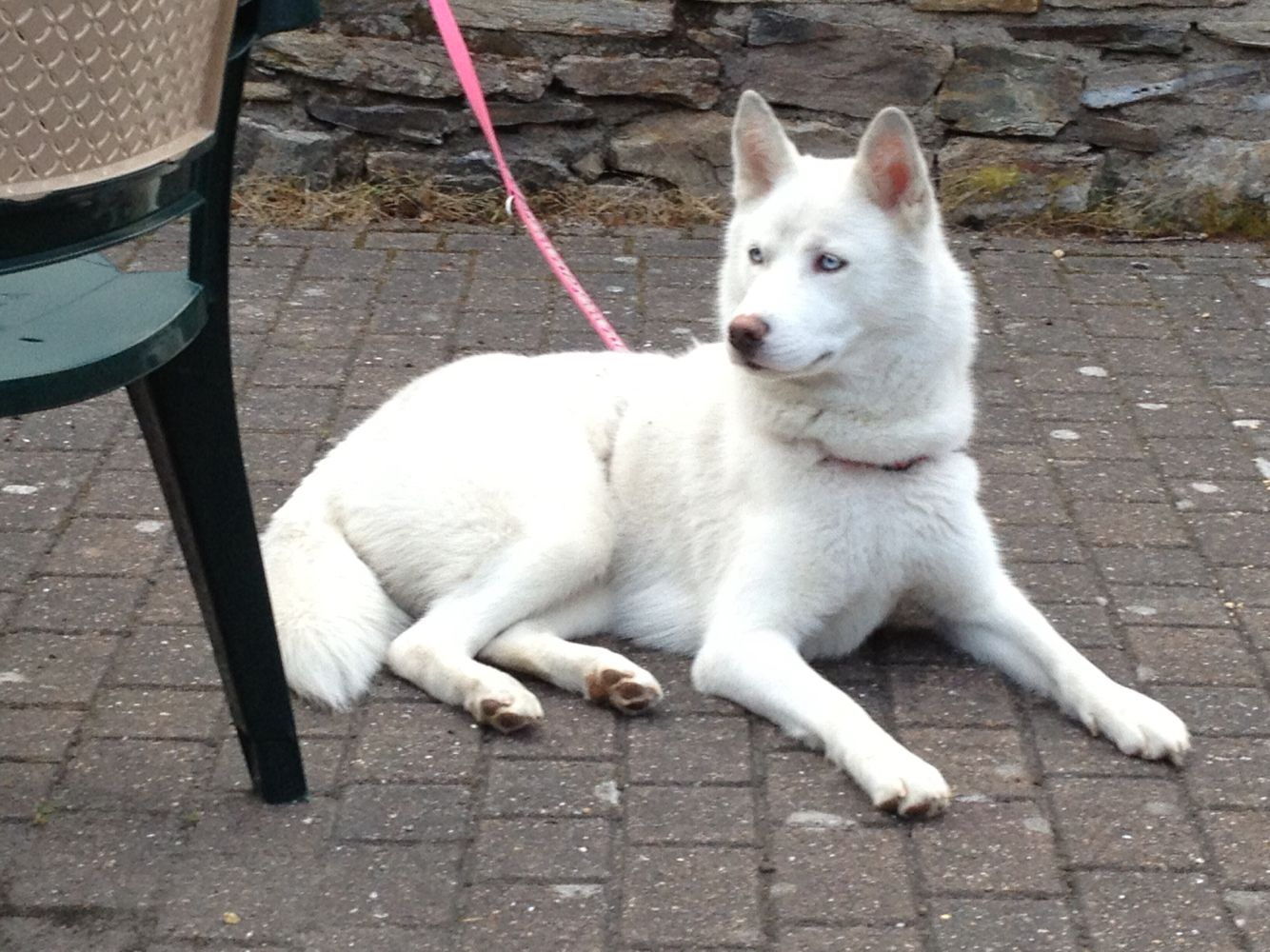 My Skyla Female Siberian Husky All White With Gorgeous Blue