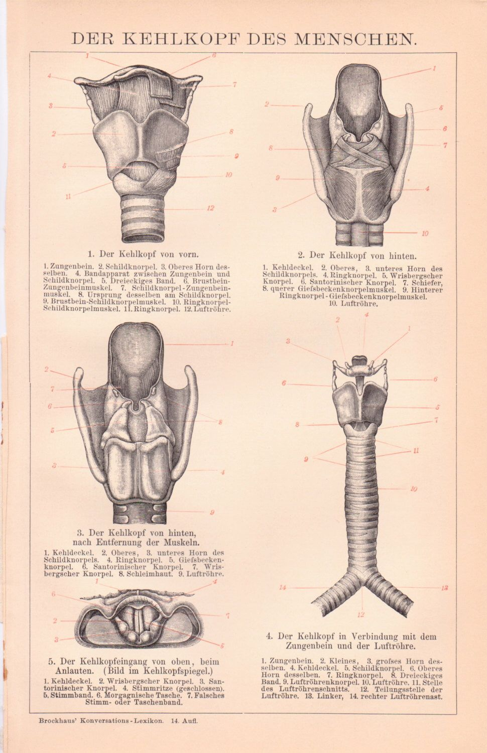 ANTIQUE ANATOMY PRINT from 1890 - Wind pipe and throat, Human Body ...