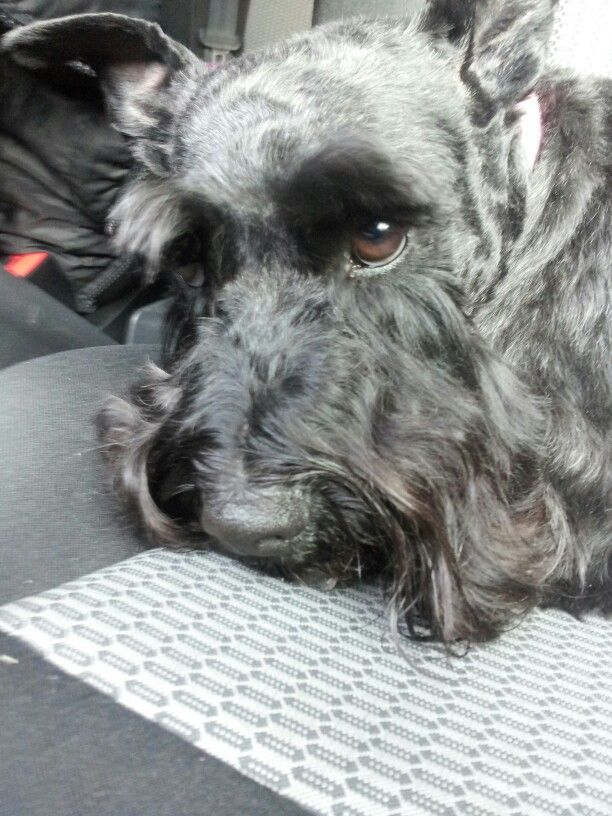 Layla after a cut!miniature schnauzer Exhausted Mommy!!!!!