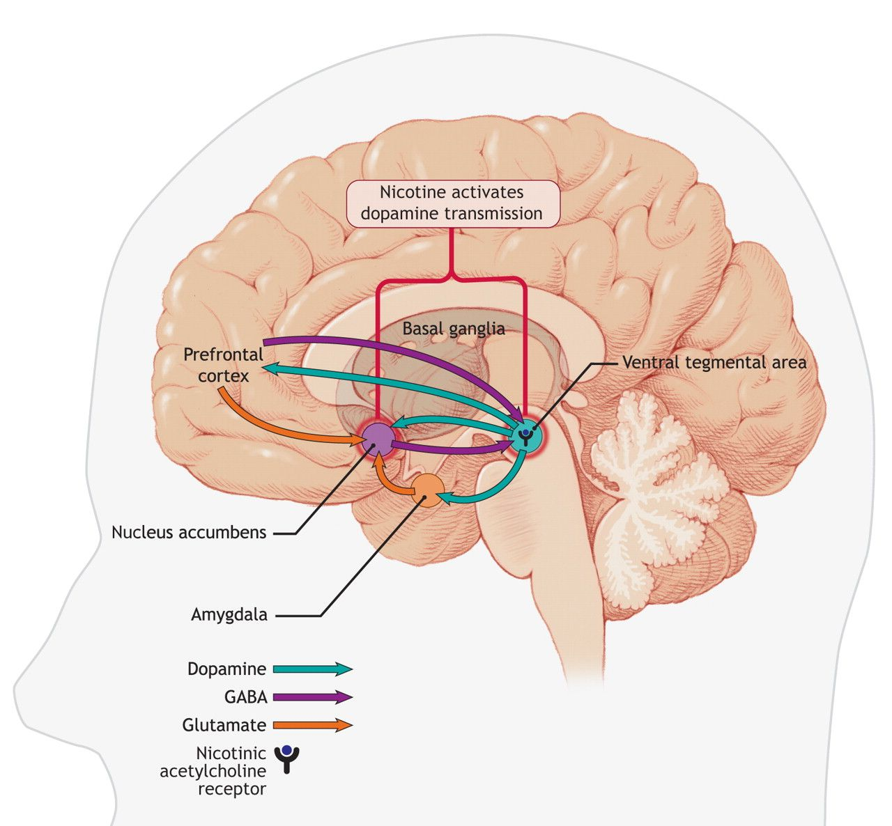 effects of nicotine on brain Scientists have analysed the subtle balance between various types of nicotinic receptors in the brain during chronic exposure to nicotine their research could make.