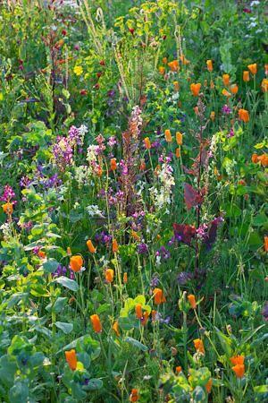 Jewel Meadow Mix in Flower - Atriplex hortensis 'Rubra