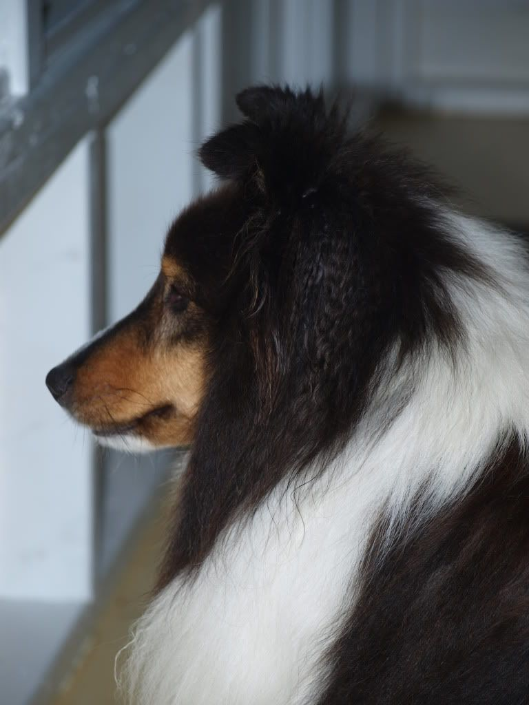 Sheltie (Shetland Sheepdog). THE BEST DOG EVER!! I have owned 3 of these so far, very loyal and VERY intelligent. This is the only breed for me :)