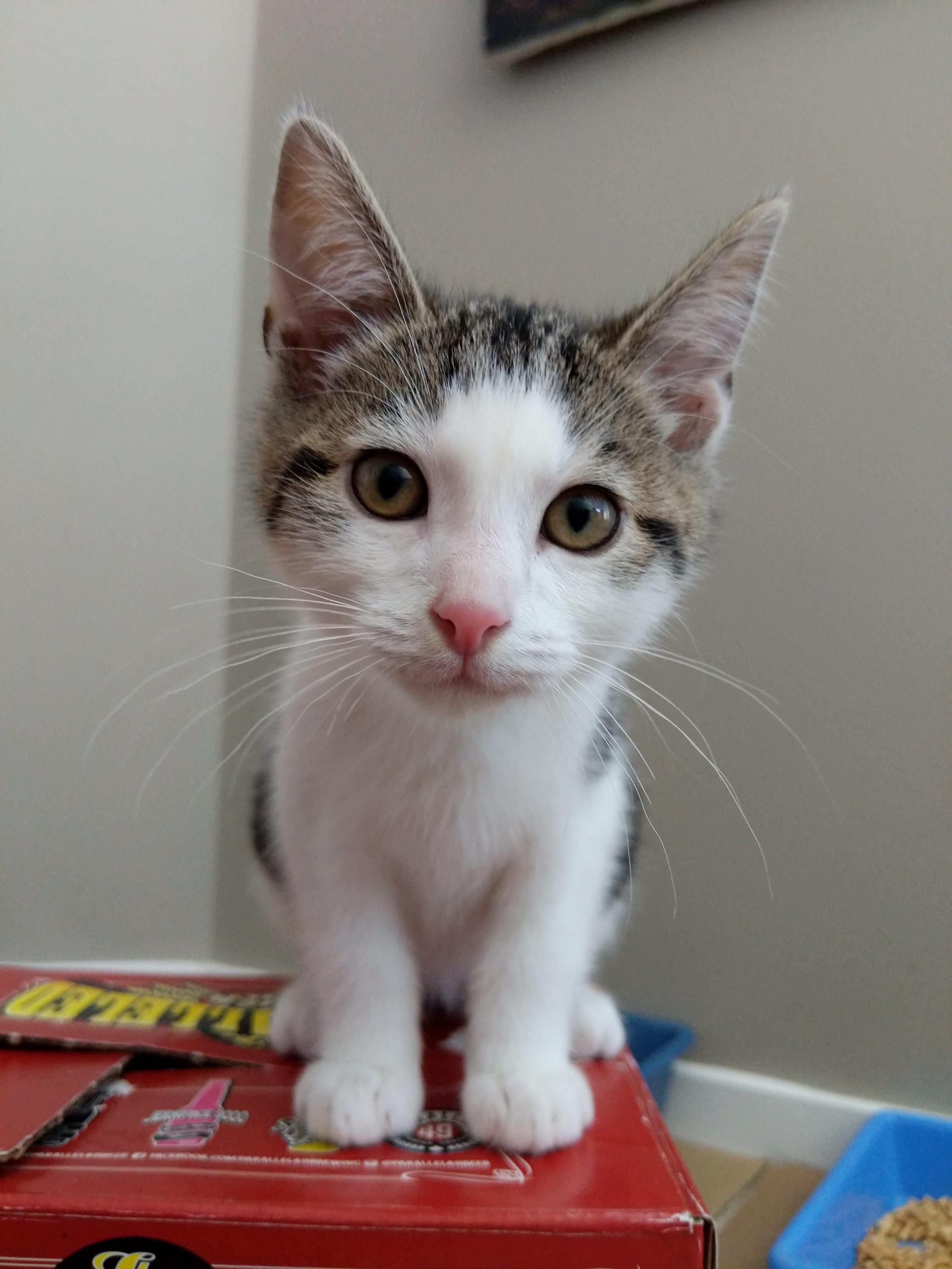 This Is Ove Short For Ovechkin We Ll Be Fostering This Little Guy For A Little While Https Ift Tt 2kz60d8 Kittens Cutest Tiny Cats Kittens And Puppies