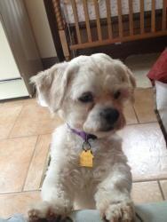 Adopt Drake On Weenie Dogs Shih Tzu Dog Pet News