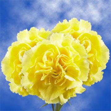 Cheap Yellow Carnations Yellow Carnations Carnations Wholesale Flowers